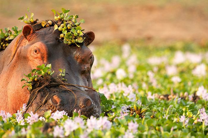 Hippo, Okavango Delta, Botswana