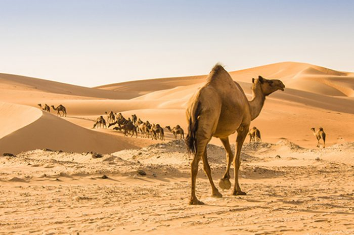 Camel, Abu Dhabi