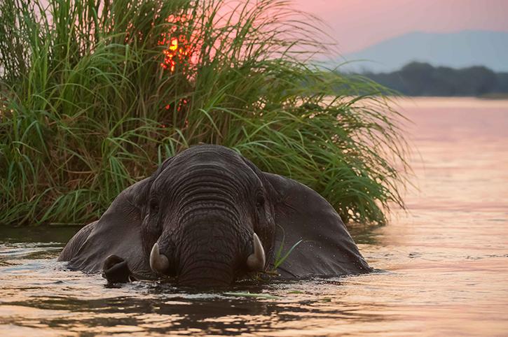African Elephant, Zambezi River