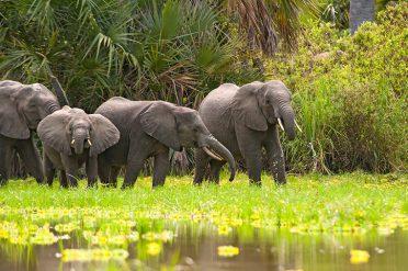 Elephants drinking water at Lake Manze, Selous