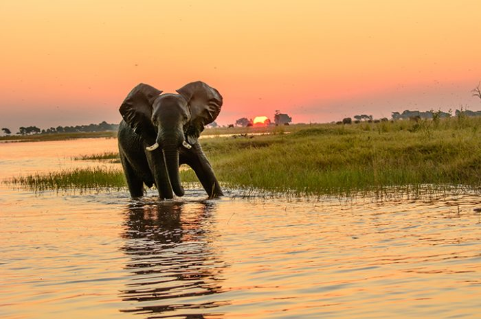 African elephant in the Chobe river