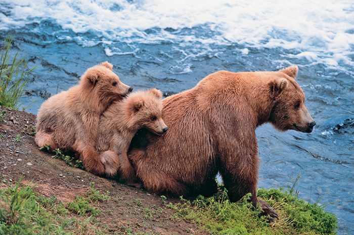 Family of Bears, Alaska