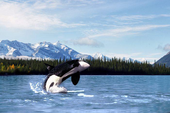 Orca Breaching, Alaska