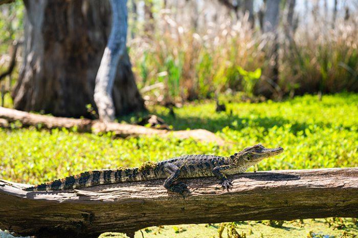 Alligator, Manchac Swamp, Louisiana