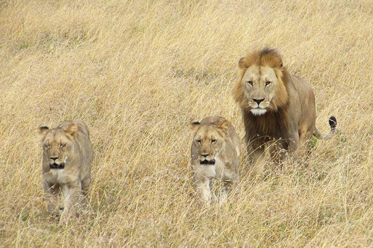 Lions, Amakhala Game Reserve