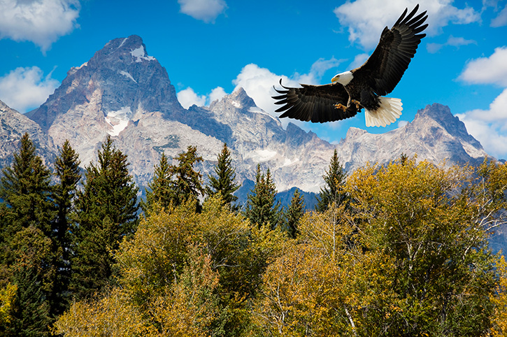 Bald eagle, Grand Teton National Park
