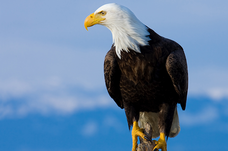 Bald Eagle, America