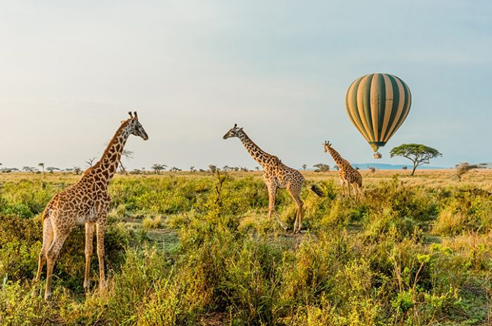 Balloon and giraffes