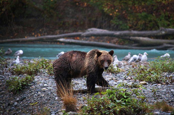 Bear, Vancouver Island