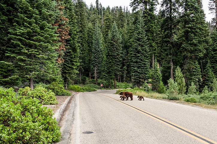 Bears, Canada
