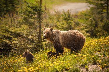 Bears in Canada