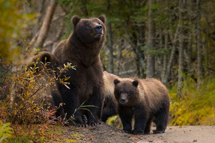 Bear Family Jasper National Park