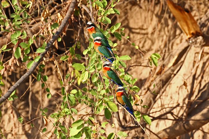 Bee Eaters, Zambezi National Park