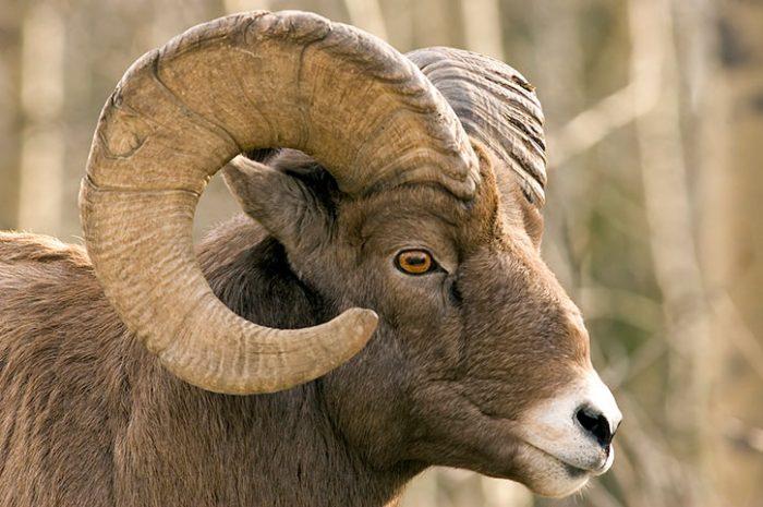 Bighorn Sheep Jasper National Park