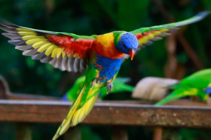 Bird, Atherton Tablelands