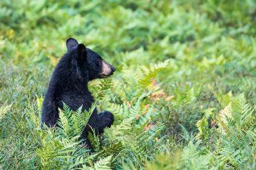 Black Bear in Algonquin NP