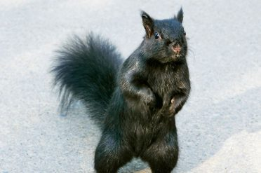 Black Squirrel, Canada
