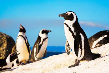 Penguins, Boulders Beach