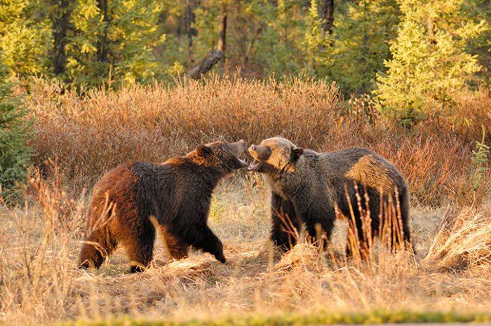 Brown Bears, Jasper National Park