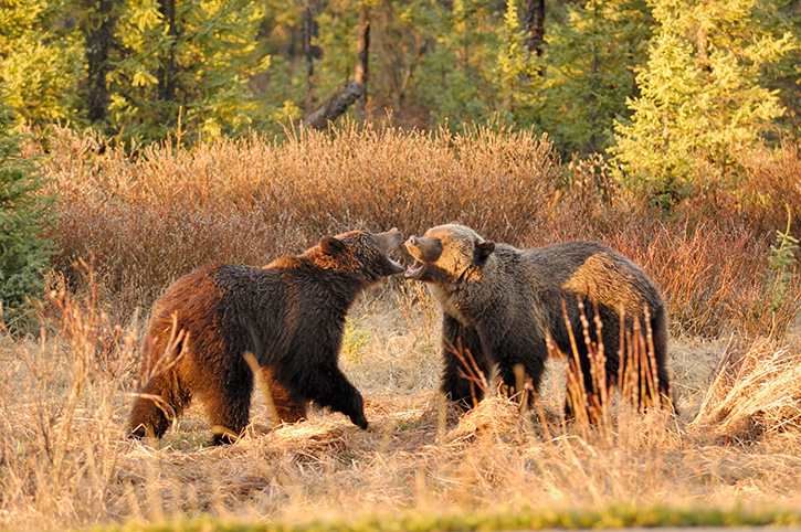 Brown Bears, Jasper National Park