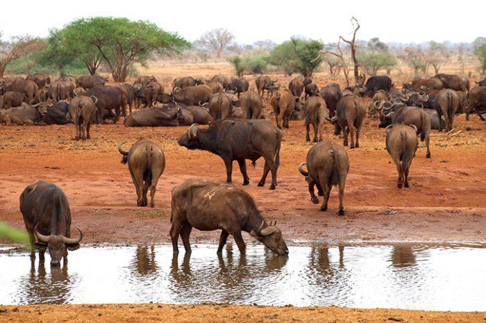 Buffalo Waterhole, Tsavo National Park