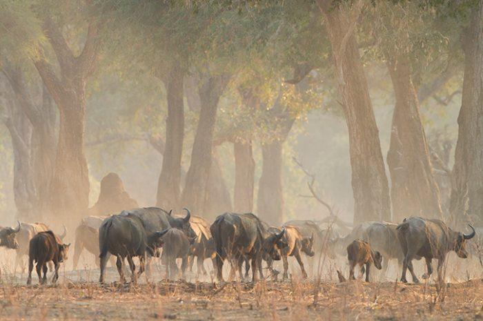 Buffalo, Zimbabwe