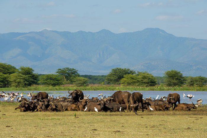 Buffalo at Lake Manyara