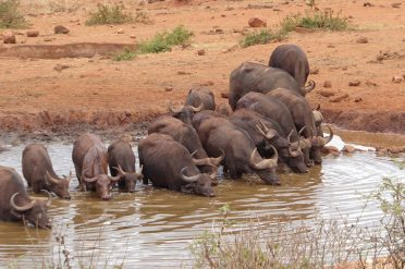 Buffalo, Water Hole