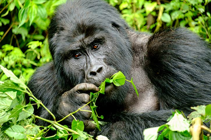 Bwindi By Air Gorilla Sighting