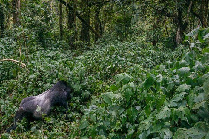 Bwindi By Air Male Gorilla