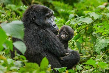 Female mountain gorilla with a baby. Uganda. Bwind