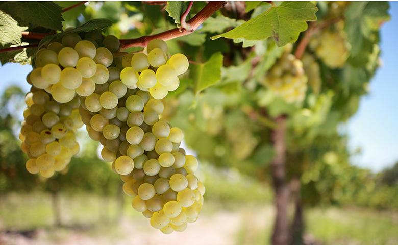 Cape Winelands Grapes