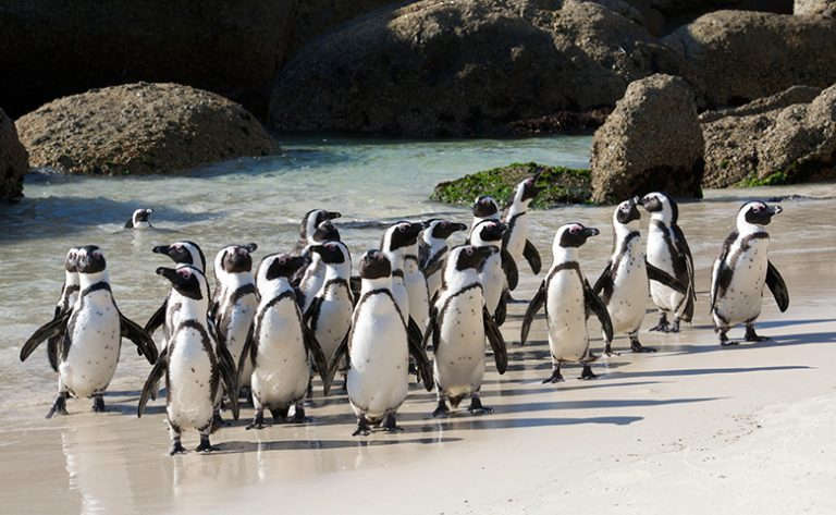 Cape of Good Hope Penguins