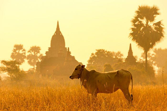 Cattle in Myanmar