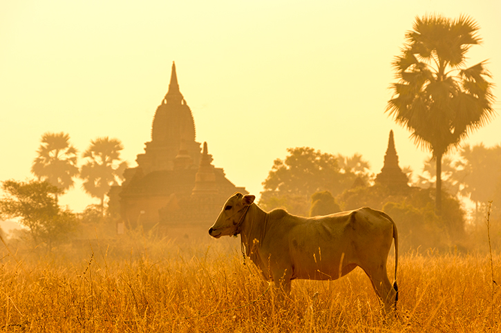 Cattle in Myanmar