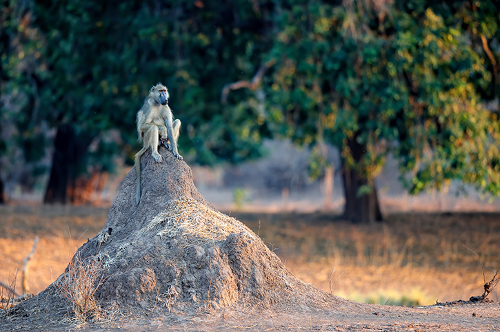 Chacma Baboon, Mana Pools National Park