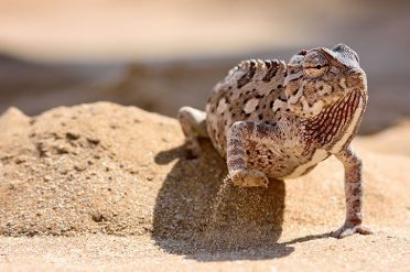 Chameleon In The Desert, Namibia
