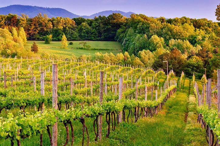 Vineyards near Charlottesville