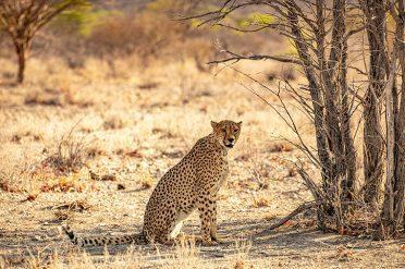 Cheetah, Etosha National Park