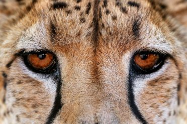 Cheetah Eyes, Namibia