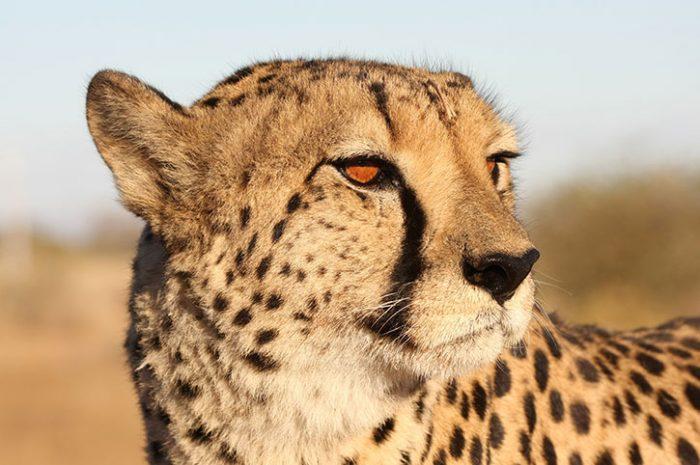 Cheetah Up Close, Namibia