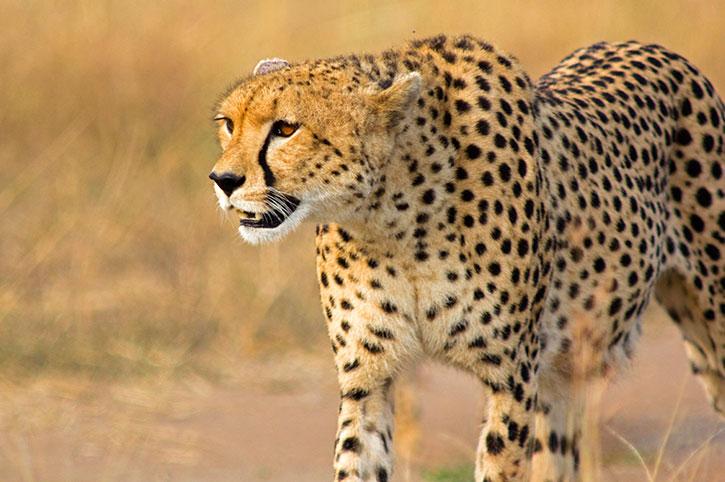 Cheetah Walk, Namibia