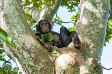 Chimp relaxing in tree