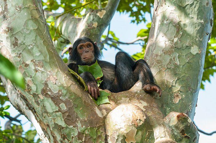 Chimpanzee, Gombe