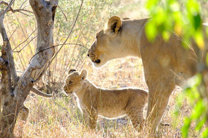 Lions, Chobe National Park