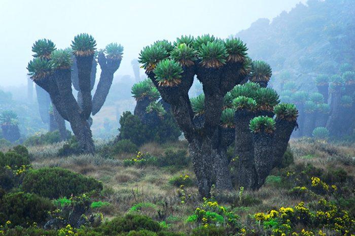 Cloud forest Mt Kilimanjaro