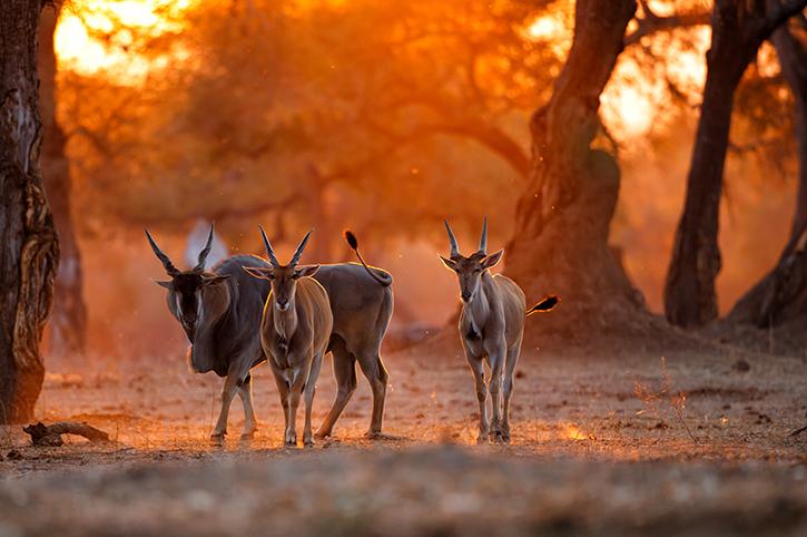 Common Eland, Zimbabwe