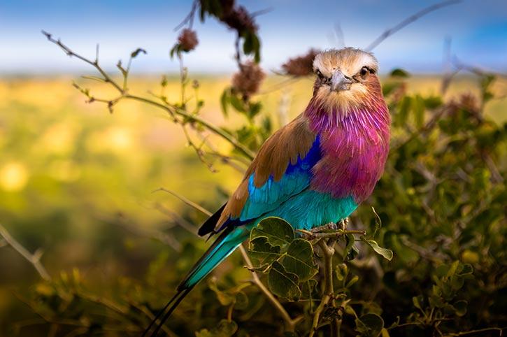 Coraciidae Bird, Tarangire National Park