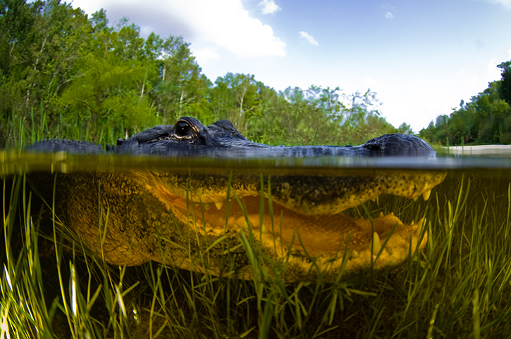 Alligator, Florida Everglades, South USA