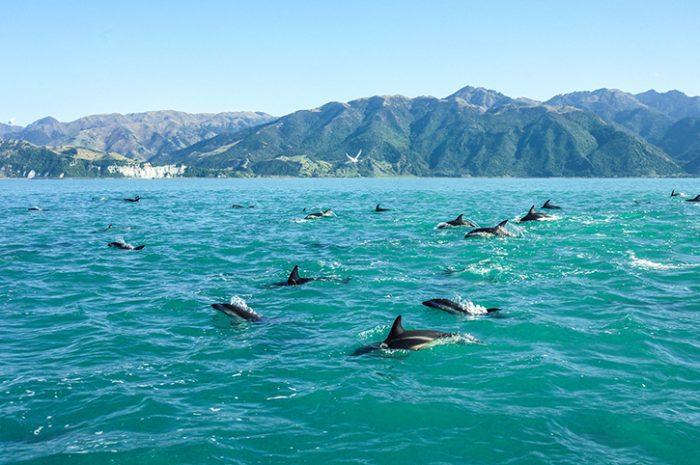 Dolphins, Kaikoura